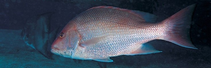 how to season red fish