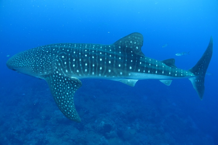 Spotted! It's Whale Shark Season in the Gulf of Mexico ...