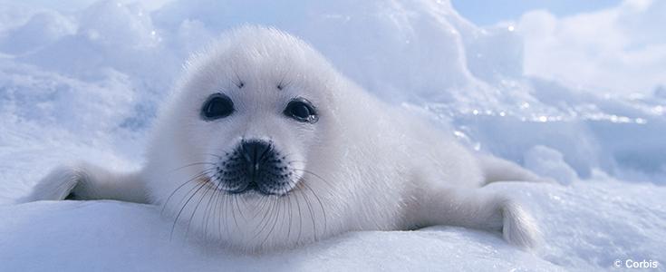 Four Arctic Animals to Appreciate this Winter - Ocean Conservancy