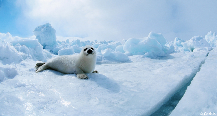 four arctic animals to appreciate this winter ocean