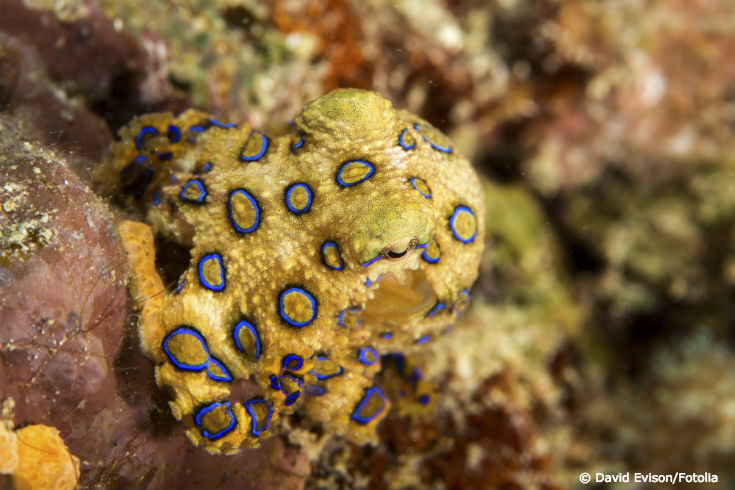 The Blue-Ringed Octopus: Small but Deadly - Ocean Conservancy