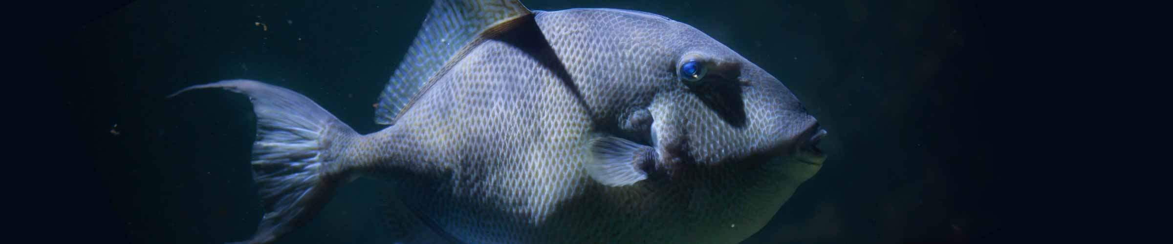 Gulf of Mexico Gray Triggerfish