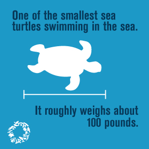 Kemp's Ridley Sea Turtle - Ocean Conservancy