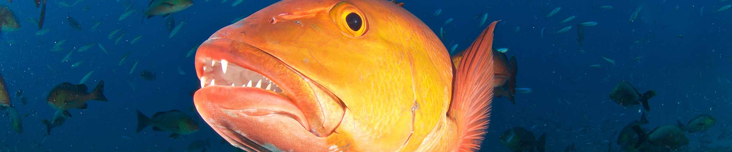 Gulf of Mexico Red Snapper