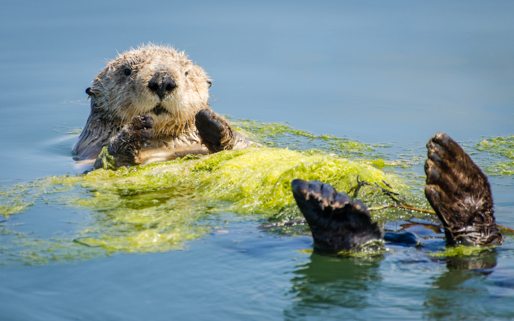 5 wildly fun facts you otter know about sea otters ocean conservancy