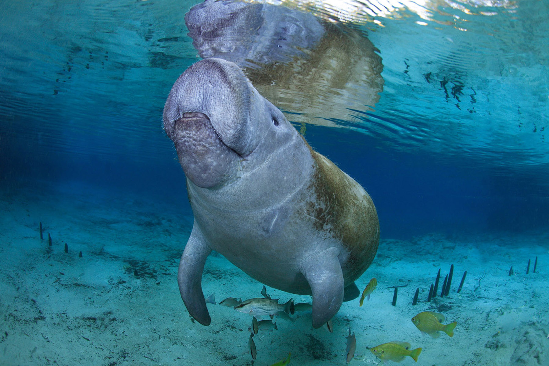 9 Reasons You Can't Help but Love Manatees - Ocean Conservancy