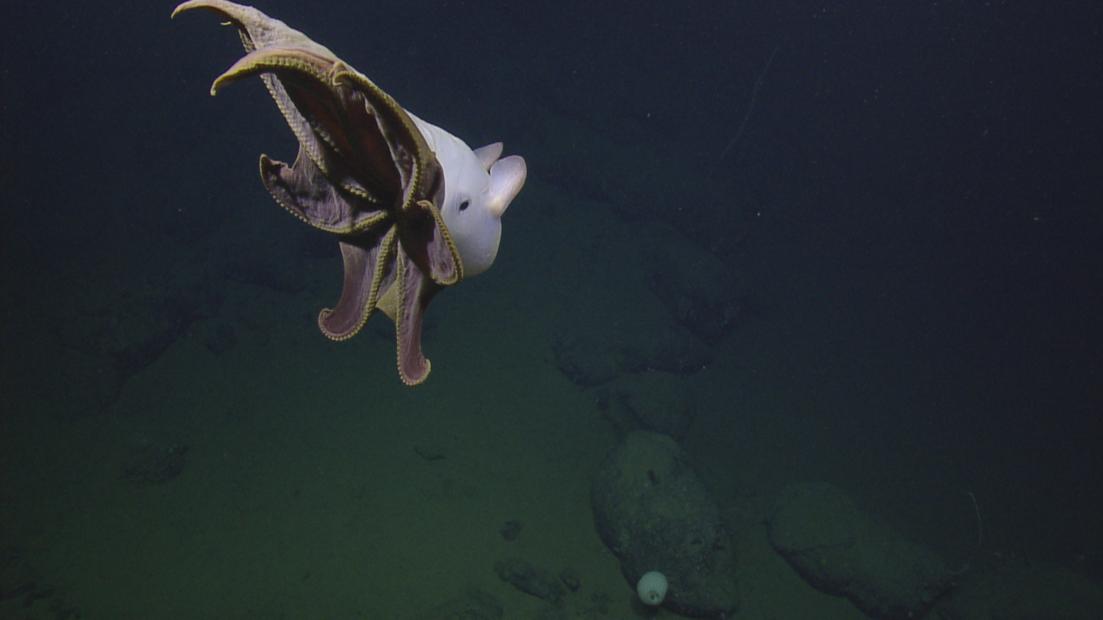 ghostly octopus