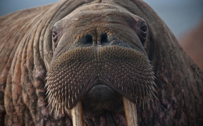 Close up of a female walrus.