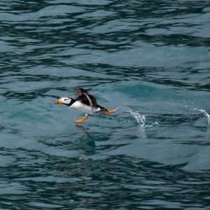 puffin running on water